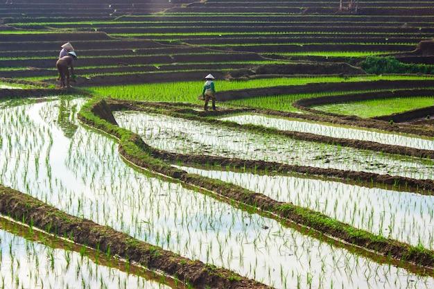 Bauern am morgen bei der arbeit in den reisfeldern von north bengkulu, indonesien