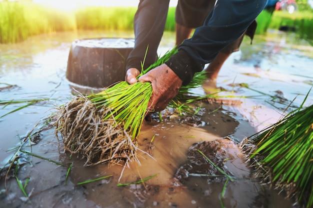 Bauern arbeiten im reisfeld