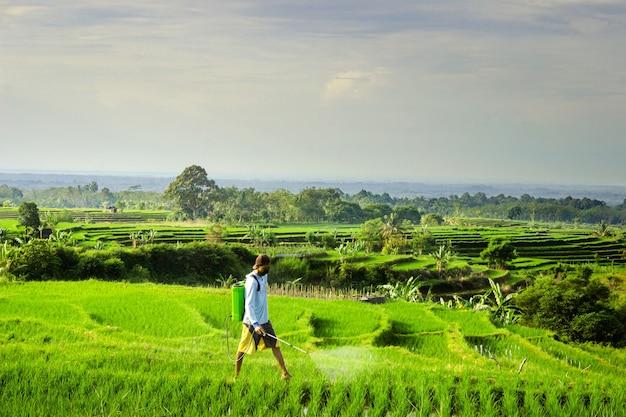 Bauern bei der arbeit am morgen, die grünen reis in den reisfeldern sprühen
