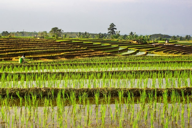 Bauern bei der arbeit morgens reissprühen in den reisfeldern von north bengkulu, indonesien