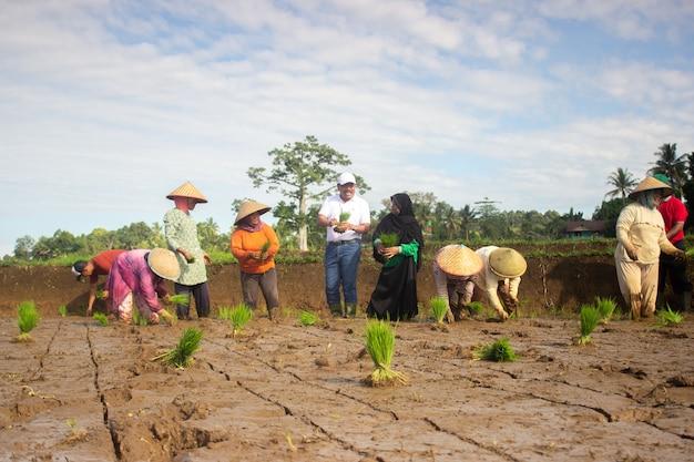 Bauern, die beim reden reis pflanzen