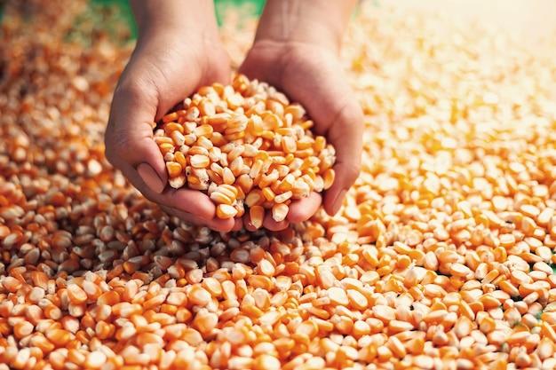 Bauern greifen mit den händen nach den maiskörnern, um mais zu inspizieren