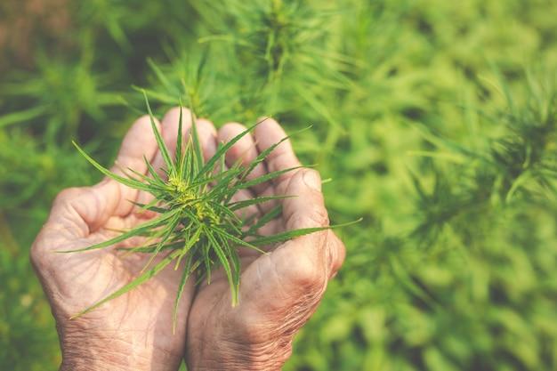 Bauern halten marihuana (cannabis) bäume auf ihren farmen.