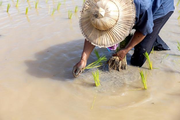 Bauernarbeit. reissämlinge sind bereit zum pflanzen mit weichzeichner und über licht im hintergrund
