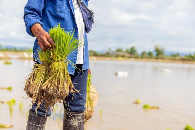 Bauernarbeit. reissämlinge sind bereit zum pflanzen mit weichzeichner und über licht in der