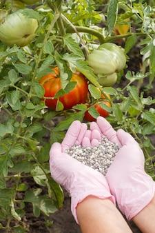 Bauernhände in nitrilhandschuhen halten chemischen dünger, um ihn den im garten wachsenden tomatenbüschen zu geben.