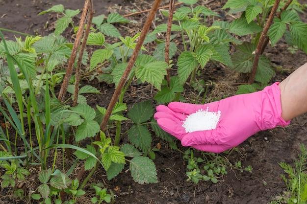 Bauernhand gekleidet in einen nitrilhandschuh, der jungen himbeerpflanzen chemischen dünger gibt