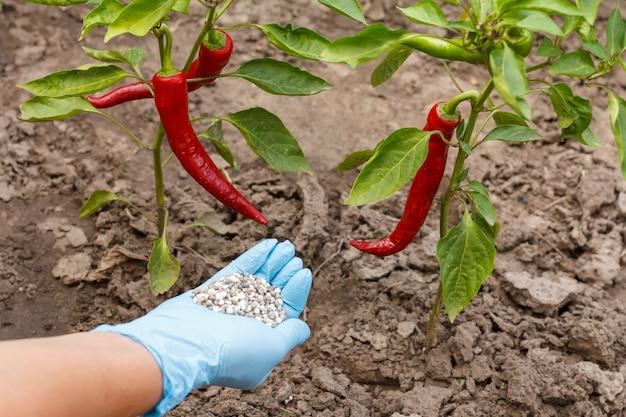 Bauernhand in einem nitrilhandschuh mit chemischem dünger, um ihn einem chili-pfeffer-busch im garten zu geben