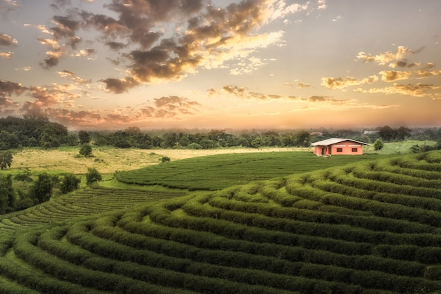 Bauernhof des grünen tees bei chiang rai, thailand