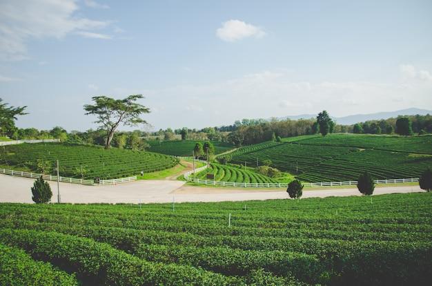 Bauernhof des grünen tees mit straße und blauem himmel