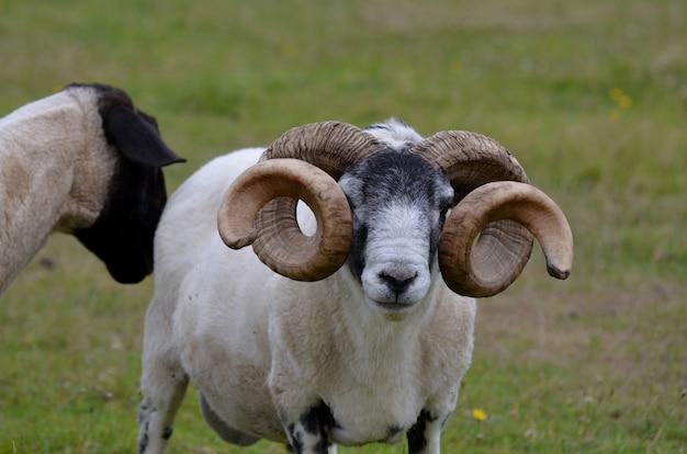 Bauernhof in den schottischen highlands mit großen curlinghörnern.