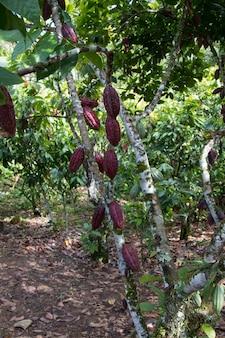 Bauernhof mit obst-kakao-plantage.