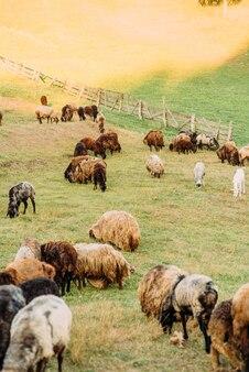Bauernhof mit schafen und ziegen