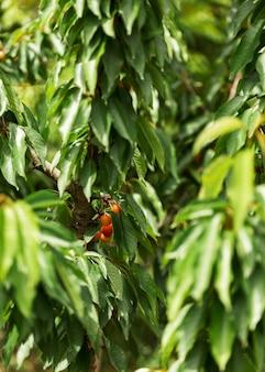 Bauernhofkonzept mit kirschbaum