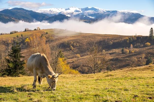 Bauernhofkuh, die auf almwiese in den sommerbergen weidet.