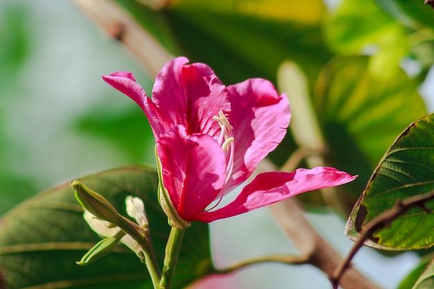 Bauhinia purpurea ist rosa in der natur und blüht wunderschön.