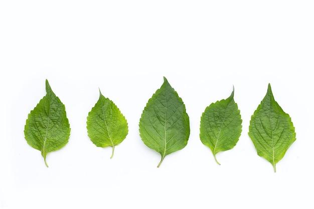 Baum-basilikumblätter (ocimum gratissimum) auf weißem hintergrund.
