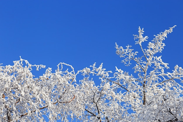 Baum bedeckt mit reif auf blauem hintergrund