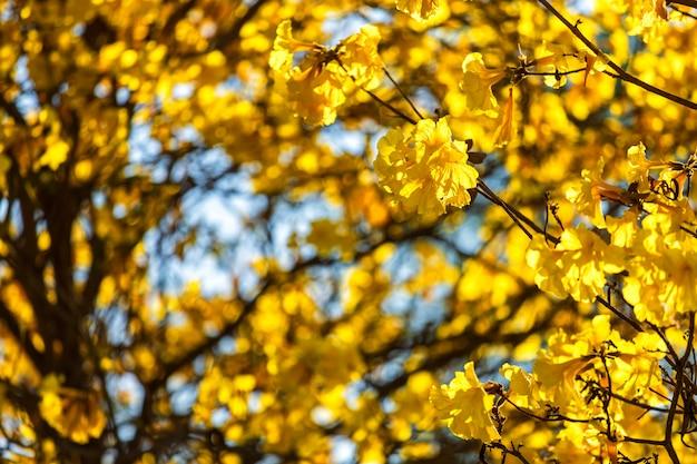 Baum der goldenen trompete am park herein auf hintergrund des blauen himmels.