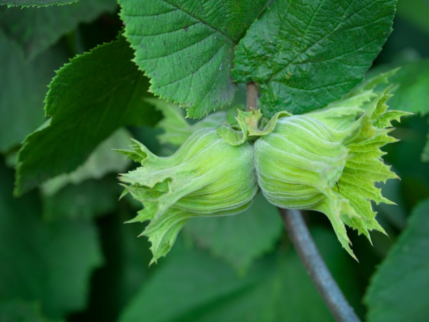 Baum der haselnuss (corylus avellana). haselnuss mit zwei jungen, die am baum hängt. haselnuss wächst auf einer grünen niederlassung