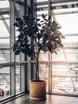 Baum in der ecke eines sehr hellen raumes mit großen fenstern