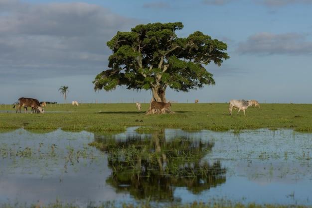 Baum inmitten des überfluteten feldes und vieh, das im inneren des bundesstaates rio grande do sul weidet