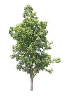 Baum, isoliert auf weiss