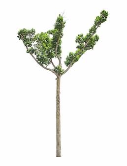 Baum isoliert auf weißem hintergrund für die verwendung im architekturdesign oder mehr.