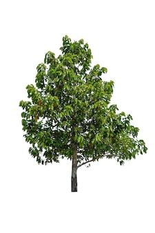 Baum isoliert auf weißem hintergrund