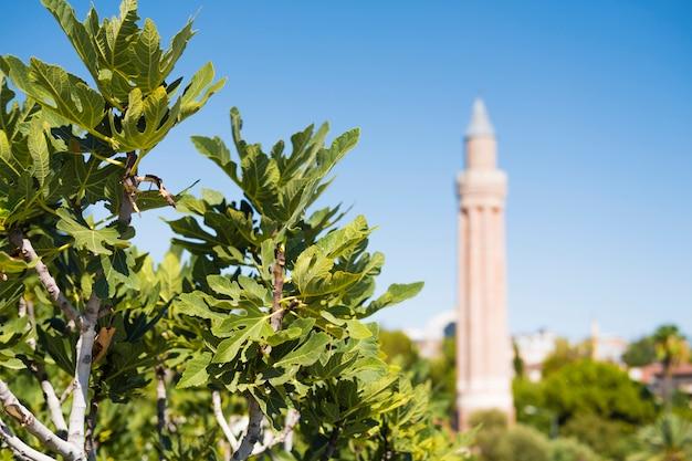 Baum mit feigen im vordergrund. minarett der moschee im hintergrund.