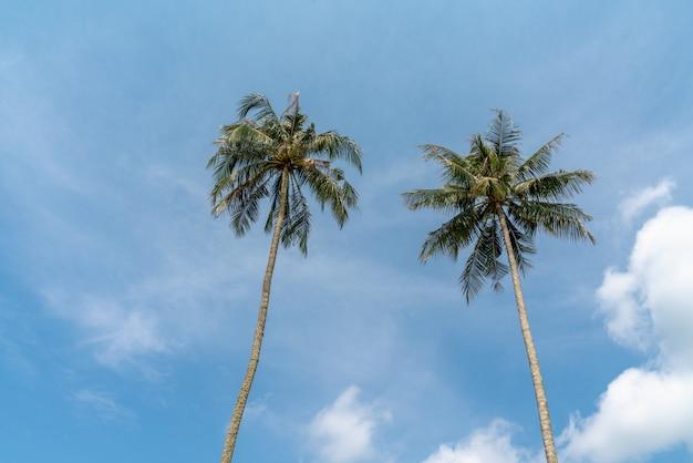 Baum mit zwei kokosnüssen auf dem tropischen strand mit wolken und blauem himmel