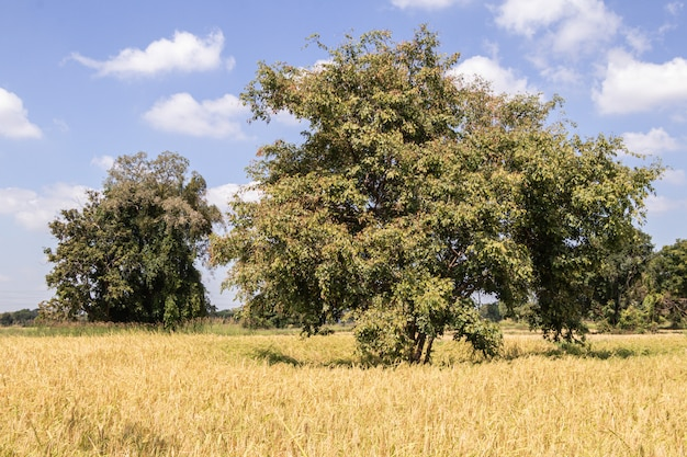 Baum, reisgrünfelder und der himmelhintergrund.