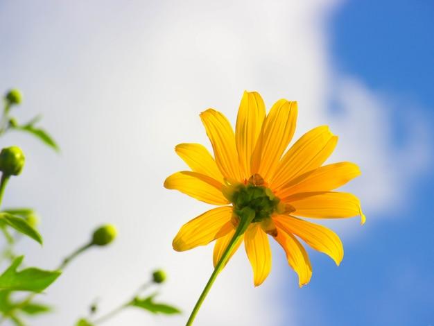 Baum ringelblume (maxican sunflower) mit blauem himmel hintergrund