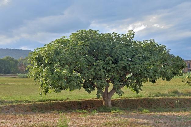 Baumfeige in katalonien (girona)