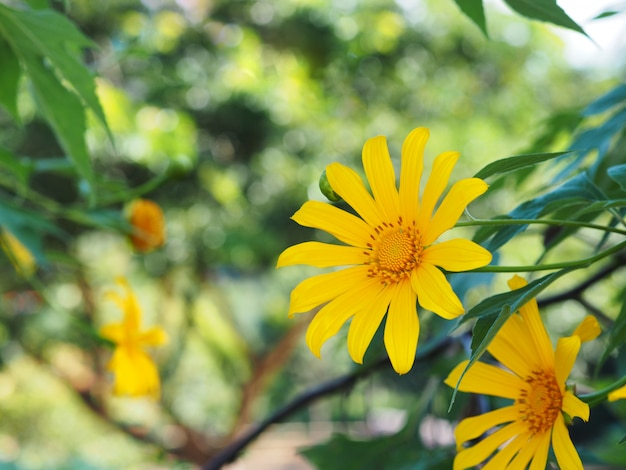 Baumringelblume, mexikanische sonnenblume