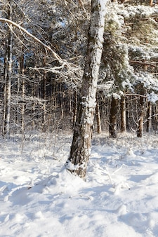 Baumstamm mit schnee bedeckt. winterwald, beleuchtet von der sonne