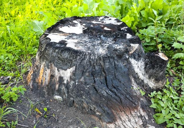 Baumstamm verbrannt. brandgefahr. ökologisches desaster. gefährliche veränderungen in der umgebung.
