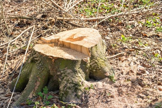 Baumstumpf vom großen entfernungsbaum im wald