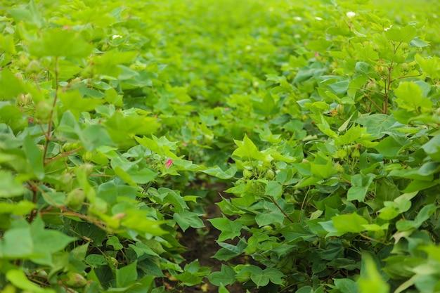 Baumwollblume am grünen baumwollfeld