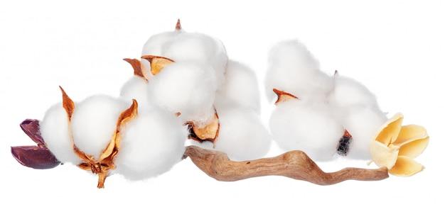 Baumwollblumen auf weiß