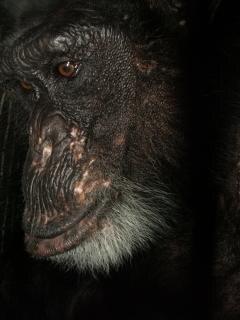 Baumwolle der schimpanse