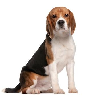 Beagle, 1 jahr alt, sitzend