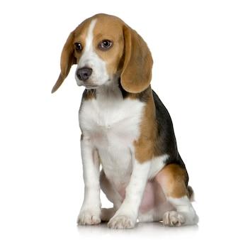 Beagle (5 monate)