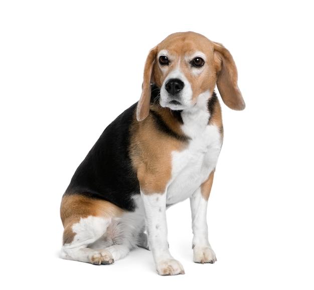 Beagle, 7 jahre alt, sitzt. hundeporträt isoliert