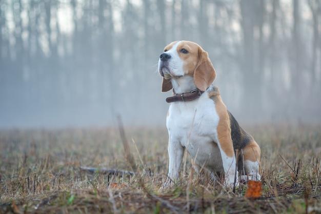 Beagle beagle hund auf einem spaziergang im wald am frühlingsmorgen im dichten nebel bei dawndog auf einem spaziergang im nebel