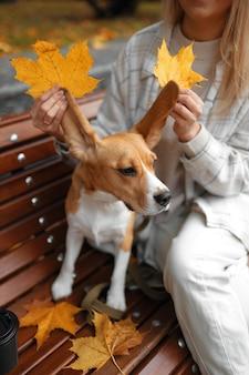 Beagle dog sitzt auf dem herbstlaub.