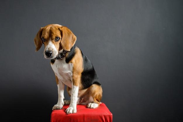 Beagle hündchen schaut nach unten
