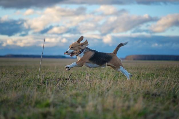 Beagle-hund auf einem spaziergang am frühlingsabend bei sonnenuntergang