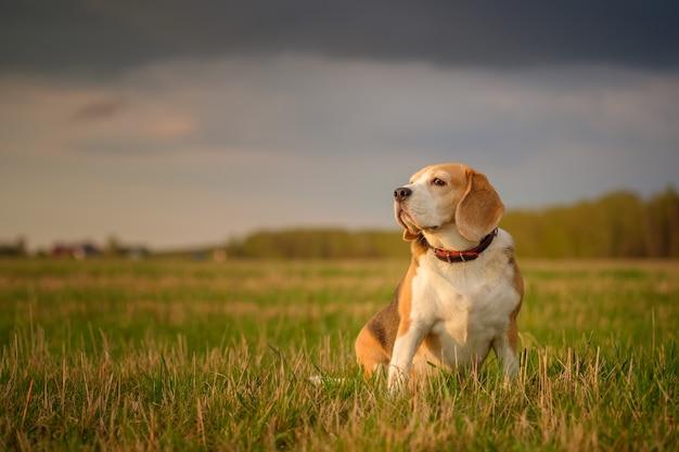 Beagle-hund auf einem spaziergang an einem maiabend
