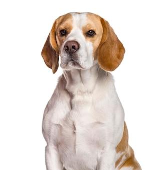 Beagle-hund, der kamera gegen weiße oberfläche betrachtet